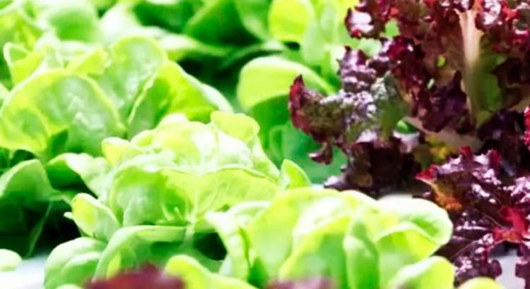 aquaponie-commerciale-salades