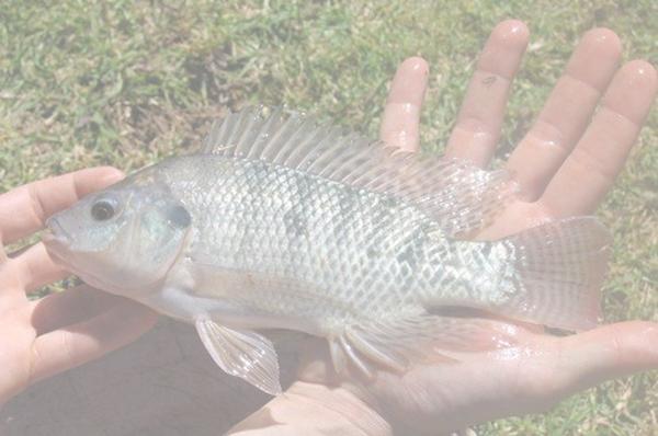 Elevage et reproduction du tilapia en aquaponie